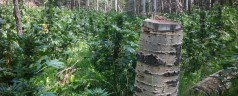 Authorities destroy $24M marijuana operation